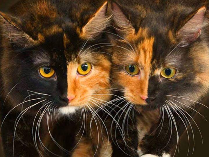 blaschko, macska